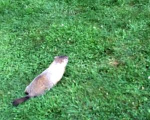 groundhog-sml
