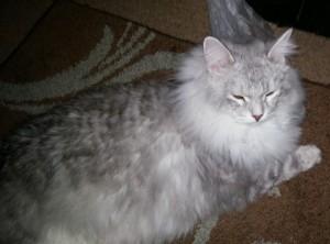 siberian-kitty
