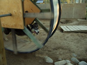 A sled dog runs in a training wheel. Photo by Yukon White Light on Flickr
