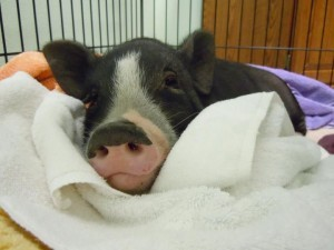 This pig is now at the Austin Human Society waiting to be reunited with his human family.