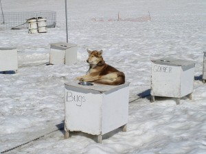 Sled dog at camp near Skagway, Alaska. By Jim Rettig on FlickR