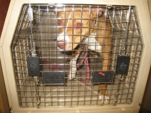 A rescued pit bull terrier in a crate. BBC World Service