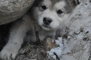 An international campaign is organizing to exonerate Shadow, now an adult Alaskan Malamute found responsible for a bite in Canada. Supporters question the evidence against him.